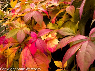 Autumn colour Virginia Creeper, Veddw Copyright Anne Wareham for thinkingardens