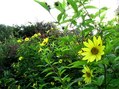 Helianthus, Veddw copyright Anne Wareham for thinkingardens