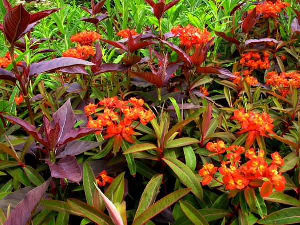 Front Garden, Veddw, Euphorbia Fireglow and Lyschimachia Firecracker Veddw copyright Anne Wareham