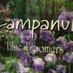 Campanula Blue Bloomers Veddw copyright Anne Wareham