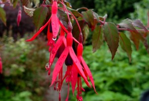 Fushia drip Early July Veddw copyright Anne Wareham 017