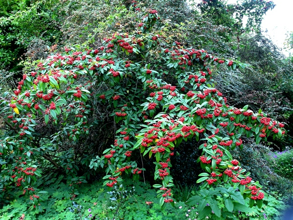 Cotoneaster at Veddw, copyright Anne Wareham SAM_8605