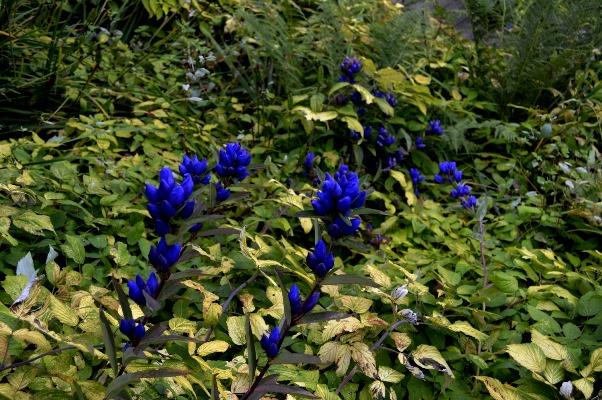 Berchgranges RS Gentiana triflora