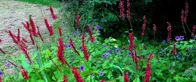 Persicaria and geranium at Veddw copyright Anne Wareham SAM_3797