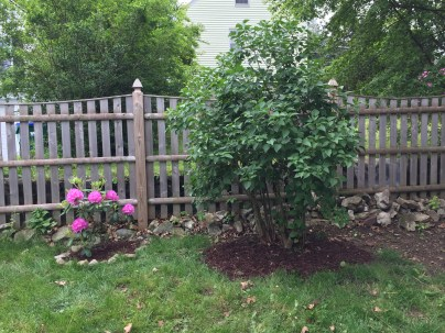 My little itty bitty rhodie, which I planted a few years ago and flowered for the first time this year, and the lilac bush.
