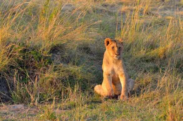 Lion cub - Masai Mara, Kenya