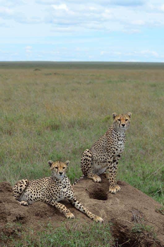 Cheetahs - Serengeti, Tanzania