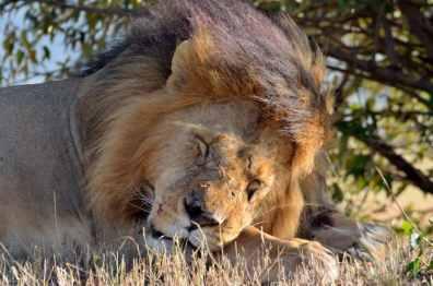 Lion - Masai Mara, Kenya
