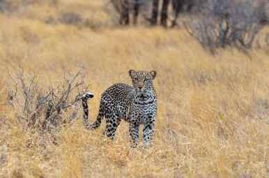 Leopard - Samburu, Kenya