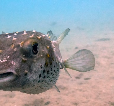 Pufferfish (photo by Malcolm Browne)
