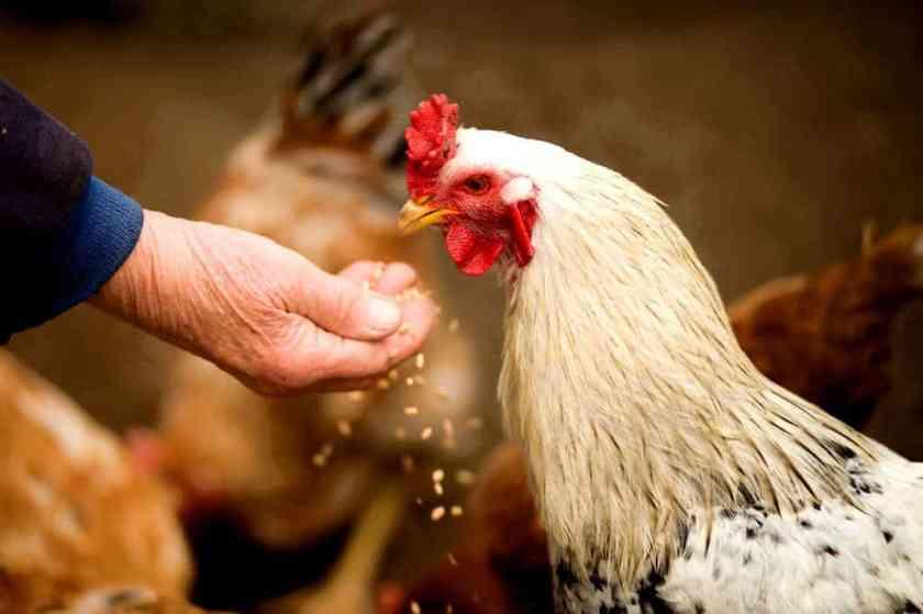 animal chicken cockerel 375510_result
