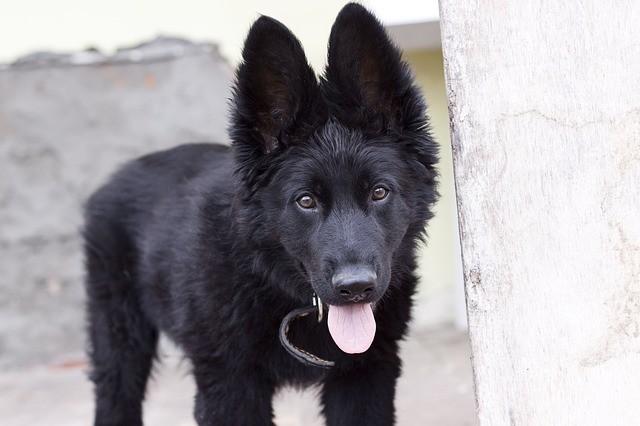 the same breed as German shepherd