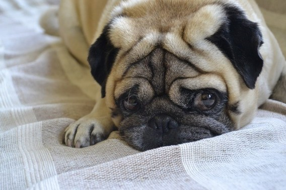 illness - a sign of dehydration in dog