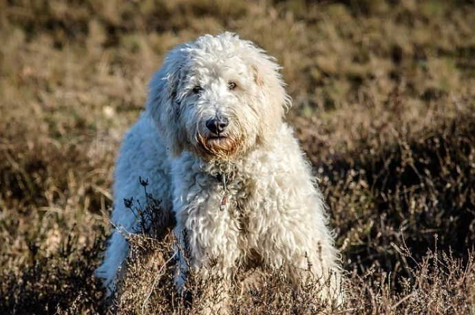 goldendoodle is a small breed