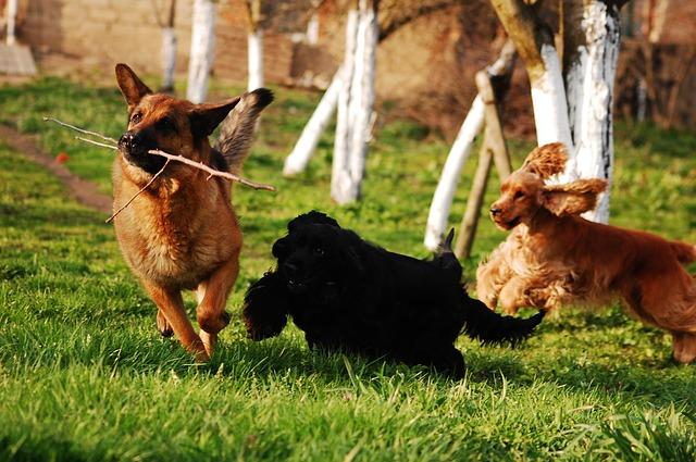 Choosing best german shepherd puppy food is important