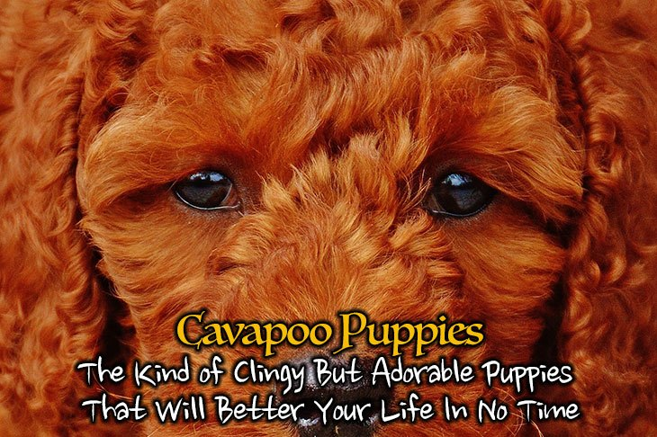 Cavapoo Puppies: The Kind of Clingy But Adorable Puppies
