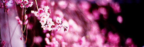 flower-cherry-bloosm.jpg