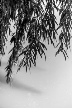botanic garden, willow leaves