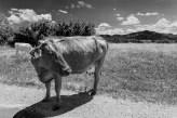B&W white cow, brown cow, brasov