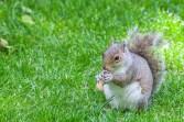 greenwich - squirrel 003