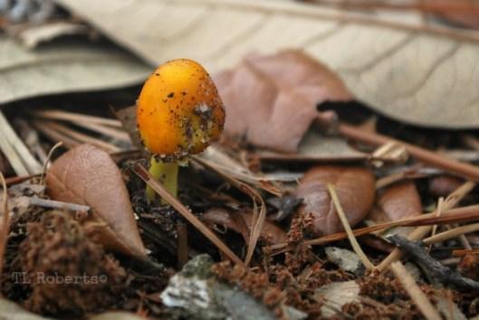 orangebud