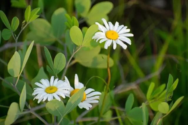 Leucanthemum vulgare, non-native Oxeye Daisy