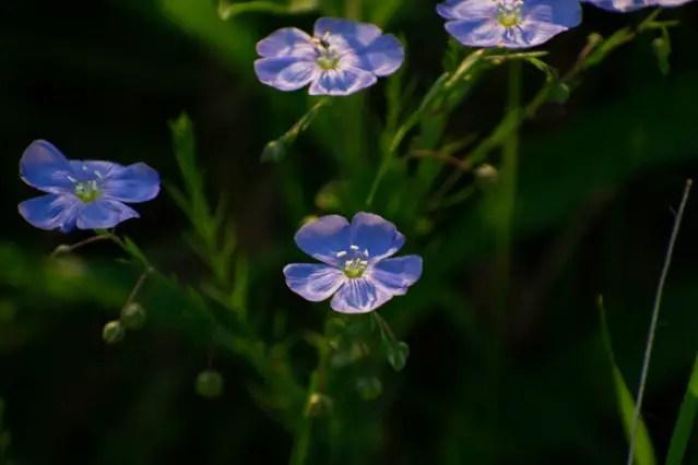 Linum sp. Flax
