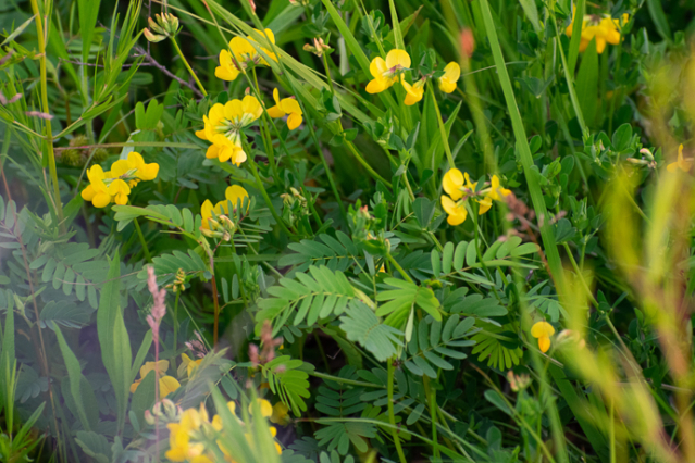 Lotus corniculatus, Invasive Birds Foot Trefoil