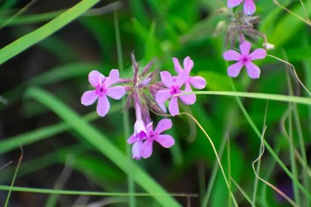 Phlox pilosa, Prairie Phlox