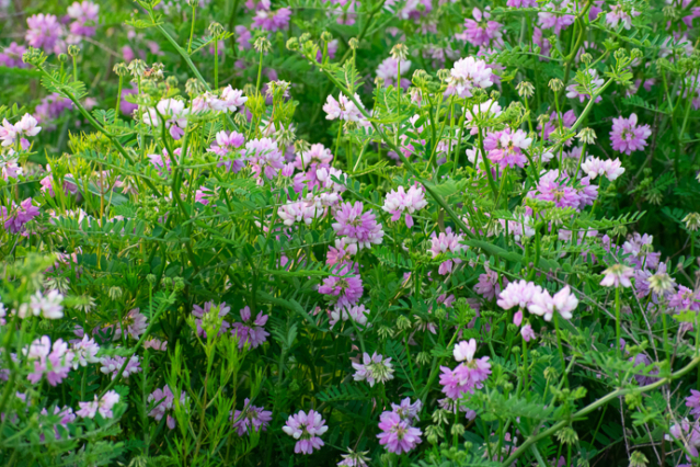 Securigera varia, Invasive Crown Vetch