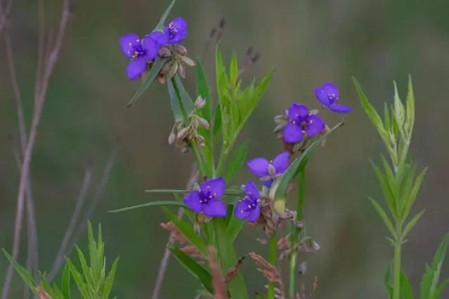 Tradescantia ohiensis, Spiderwort