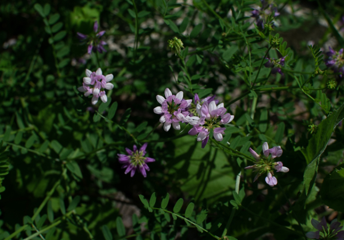 Crown Vetch, Securigera varia, invasive