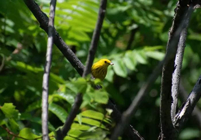 Yellow Warbler amidst Sumac