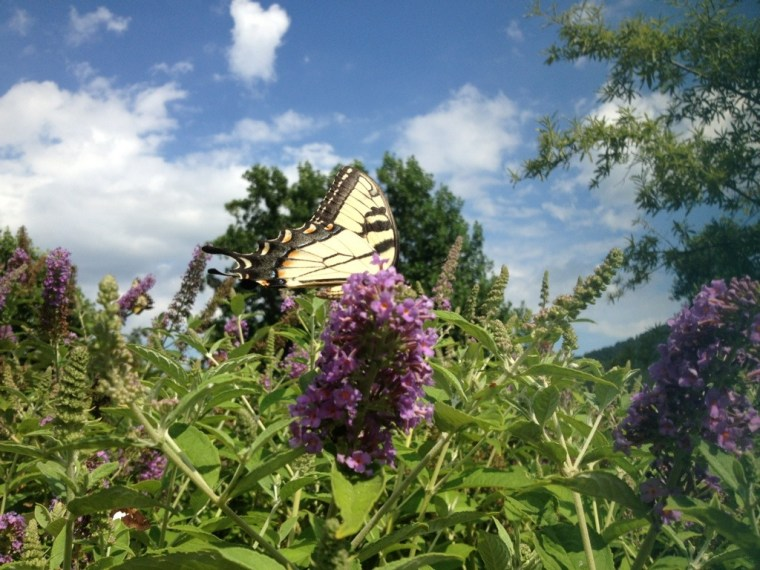 Butterfly on the Blue Ridge Mountains