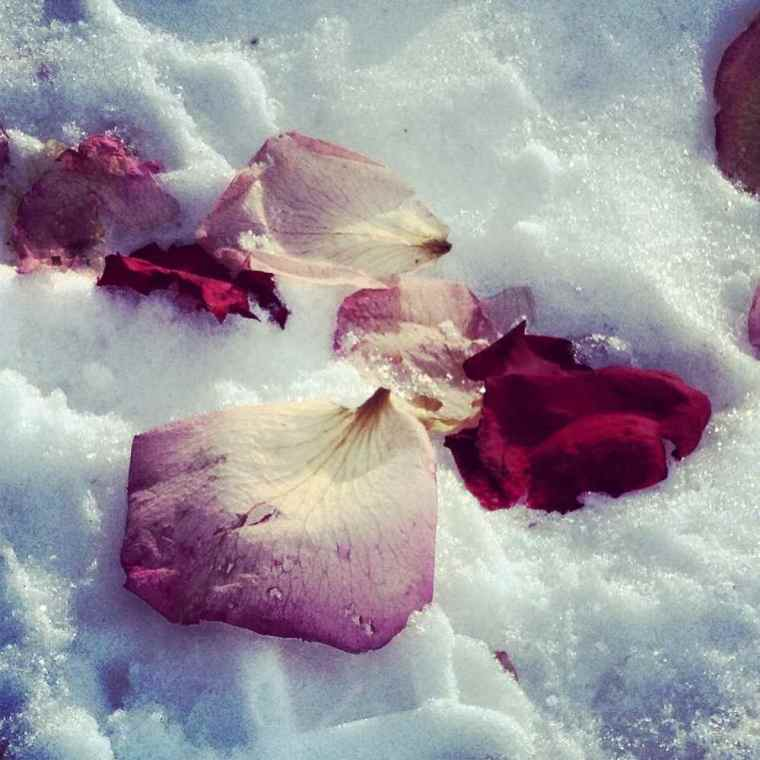 Rose Petals on the snow