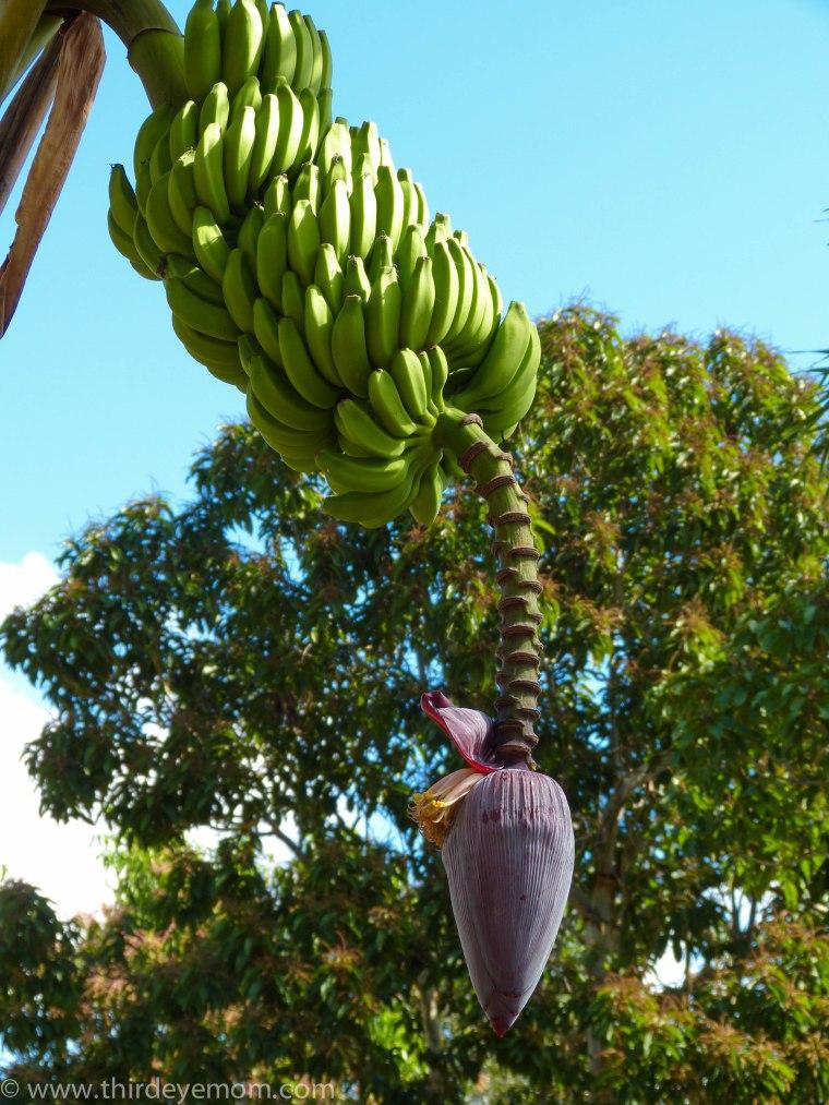 banana tree in Cuba