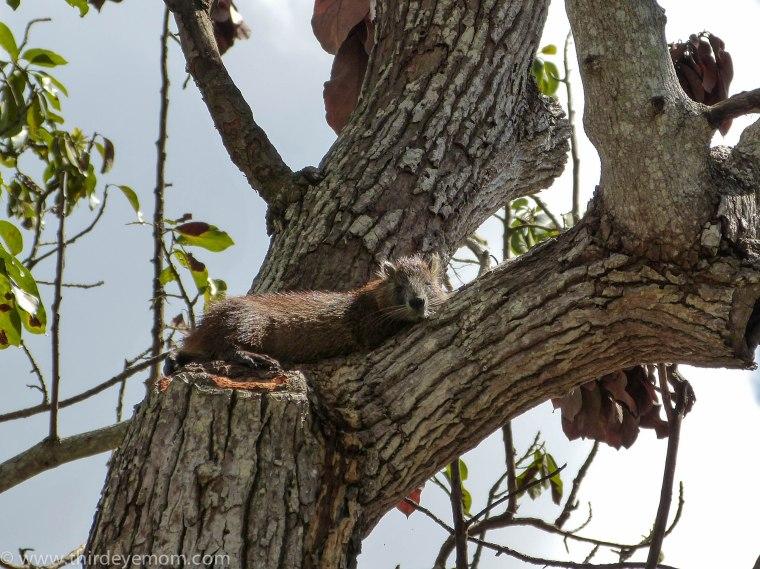 Cuban tree rat