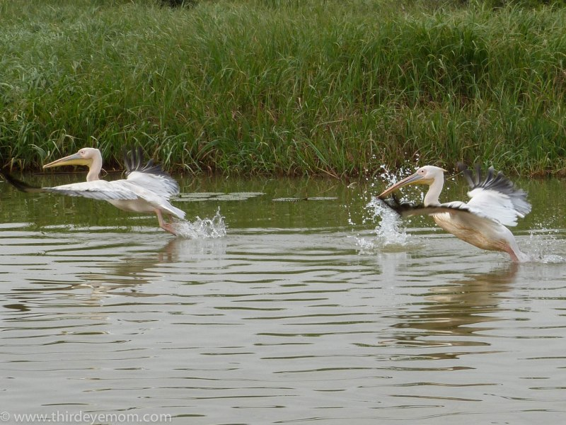 Pelicans on Lake Tana, Ethiopia