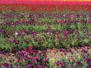 The Flower Fields San Diego