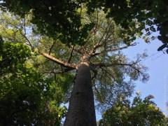 Very tall trees