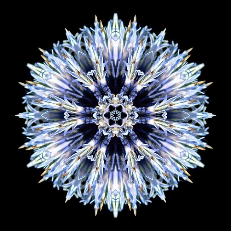 Blue_Globe_Thistle_I_sRGB_800x800