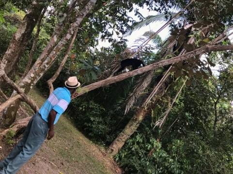 Yucatan Black Howler Monkey, Community Baboon Sanctuary Belize