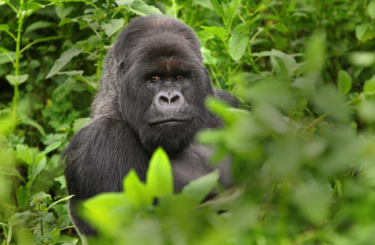 Natural Habitat Adventures Gorilla trekking