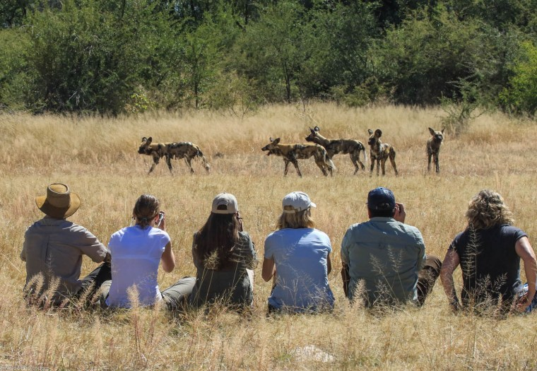 Zimbabwe wild dogs Global Family Travels
