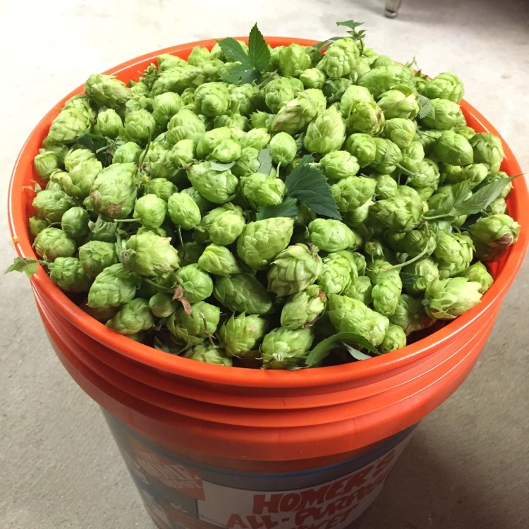 Green Thumb for Green Beer (2016 Hop Harvest)