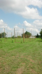 Early hop yard at Buck Creek Hops,
