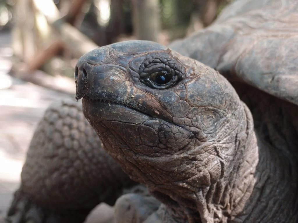 Aldabra Tortoise close up Zanzibar