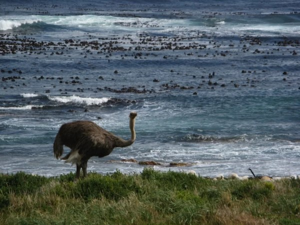 ostrich on Cape of Good Hope