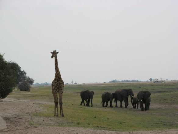 giraffe in Chobe National Park bptswana