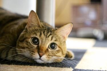 猫が人参にスリスリする理由と与える場合の注意点について